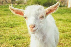 Poetry for Goats by Kenn Nesbitt